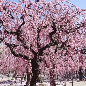津「結城神社の枝垂れ梅」見てきました~(^^)  2021