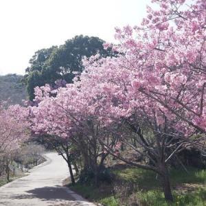 志摩の「横山陽光桜」と「天の岩戸オオシマサクラ」見てきました~(^^)