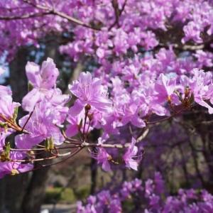 津市「偕楽公園」の桜見てきました~(^^)