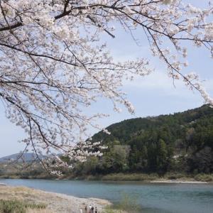 度会町「宮リバー度会パークの桜」見てきました~(^^) 2021