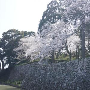 玉城町「田丸城跡の桜」見てきました~(^^)