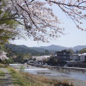 内宮「五十鈴川の桜」見てきました~(^^)