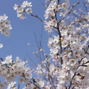 伊勢市「宮川の桜」見てきました~(^^) 2021