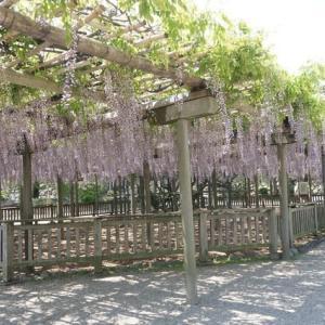「松阪城跡(松阪公園の藤」見に行ってきました~(^^)
