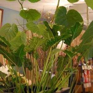 観葉植物も少しづつ入荷しています。