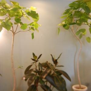 観葉植物を楽しむ。