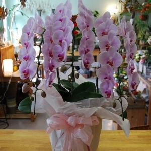 胡蝶蘭、シンピジュームなど蘭のご注文について。