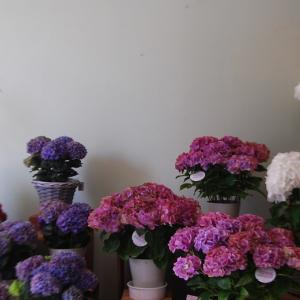 アジサイの花鉢が入荷しました。