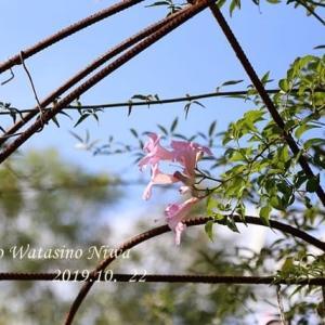 チビ薔薇の楽しみ