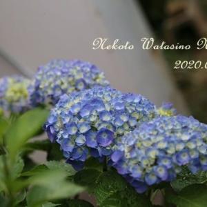 白いドロシーと青い紫陽花