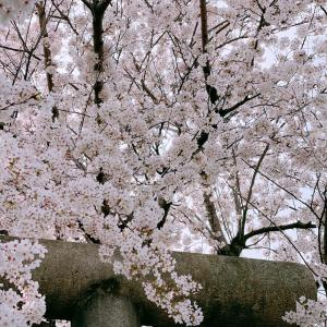 今年は桜が一層愛おしい