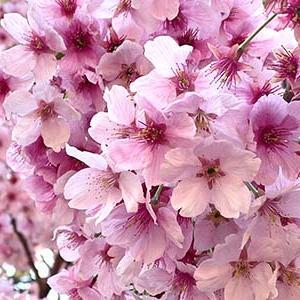 桜の動画(まったり編)