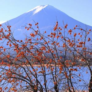 豊作です長崎公園の柿