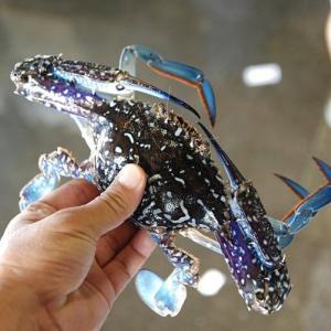 タイワンガザミのオスはアオガニとも呼ばれる青紫の甲羅のカニ 浜名湖・遠州灘のカニ
