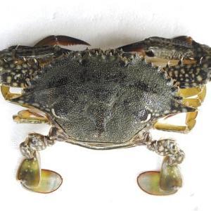 タイワンガザミのメスはモガ二とも呼ばれるガザミに似た甲羅のカニ 浜名湖・遠州灘のカニ