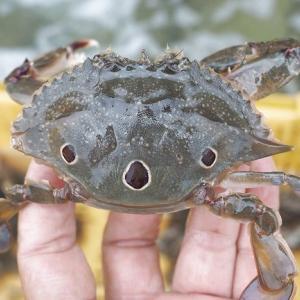 ジャノメガザミは上等兵とも呼ばれ、今やコアラガザミ 浜名湖・遠州灘のカニ
