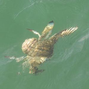 泳ぐカニ 海から浜名湖にコウイカ・モンコウイカ 危険なキュウシロウクラゲ