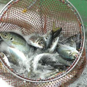 タチ・アジ漁・アマダイ漁はじまる6月の舞阪漁港