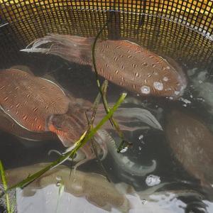 浜名湖のコウイカ・モンコウイカは産卵の季節