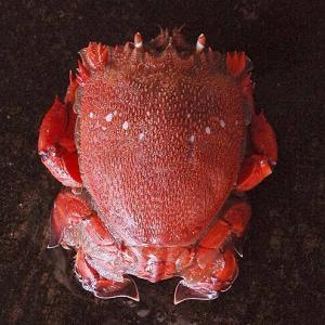 遠州灘の旭 真っ赤なアサヒガニ 浜名湖・遠州灘のカニ