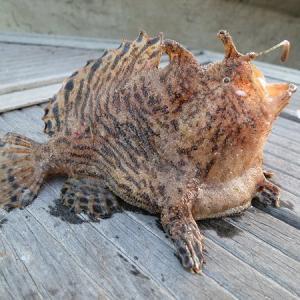 遠州灘・浜名湖の底に棲むカエルアンコウは丸呑みする大食漢