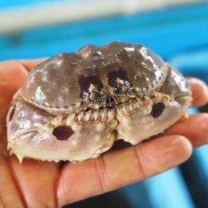左右形が違うツメで巻貝を割り食べる メガネカラッパ