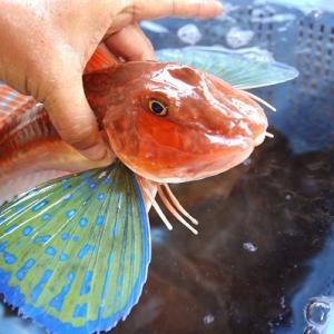 ホウボウは蝶の羽のヒレを持ち、砂底を這い、浮袋を「ホーボー」と鳴らす魚