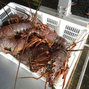 沿岸刺し網漁のイセエビは9月15日解禁 遠州灘・浜名湖のエビ