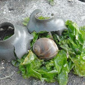 浜名湖の砂の造形はウンナイことツメタガイの卵塊 浜名湖生き物みつけ隊!