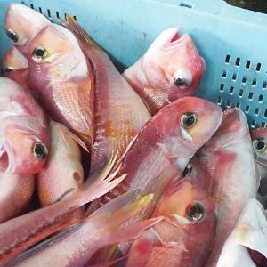 舞阪漁港の6月 アマダイ、アカムツ・沿岸刺し網にガザミ・マゴチ、モチカツオ