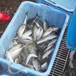 活アジの夏漁はじまった舞阪漁港、モチカツオ船団増える