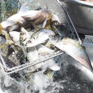 舞阪漁港タチアジ漁 活アジは海水かき混ぜ泡の中