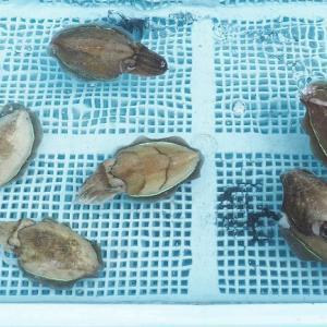 鷲津市場水族館 夏の浜名湖の小さなシャトル コウイカの子たち