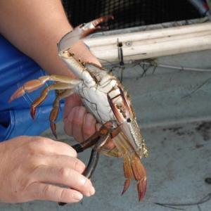 浜名湖ワタリガニはツメを切る ドウマンはツメを縛る