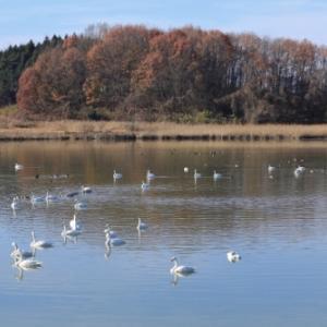 高野池の白鳥@鏡石町
