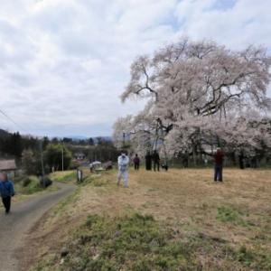 戸津辺の桜 2020