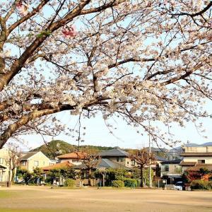 町内の桜 (^O^)/~~♪