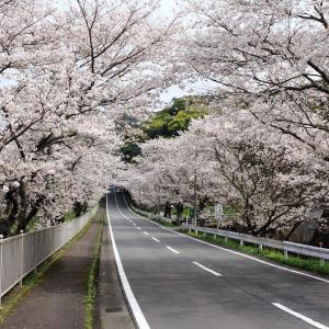 諫早市多良見大草 桜列車 (^O^)/~~♪