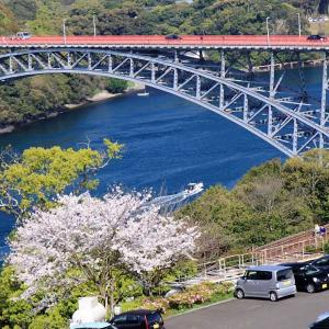 西海橋 桜満開 (^O^)/~~♪