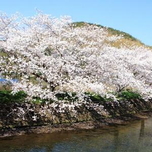 「琴海戸根川の桜満開!」(長崎市)(^O^)/~~♪
