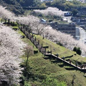中尾城公園(長与町) 桜満開! (^O^)/~~♪