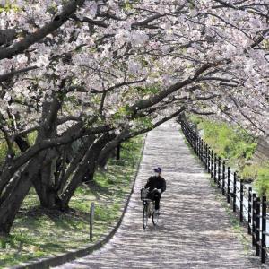 コロナに負けず 桜満開!! (^O^)/~~♪