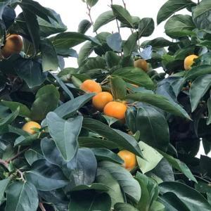 札幌の街に柿の実。