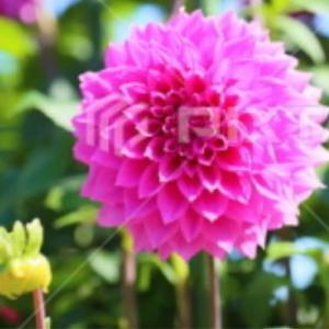 言葉・ダリアの花。