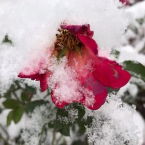 生き方・雪と薔薇
