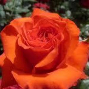 チャンス・真っ赤な薔薇