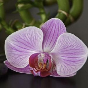 人・蘭の花