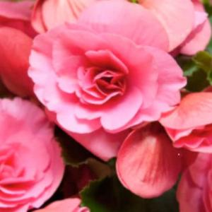 幸せ・ベゴニアの花