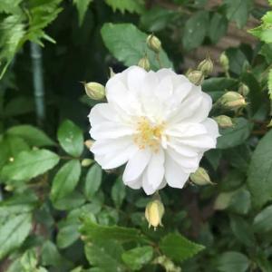 経験・白い薔薇