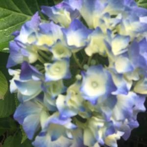 雨が似合う紫陽花の花。